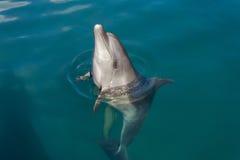Dolfijn het spelen in het overzees stock foto's