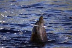 Dolfijn het spelen met een ring royalty-vrije stock afbeelding