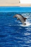 Dolfijn het springen Stock Afbeelding