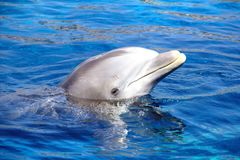 Dolfijn in het water Stock Afbeeldingen