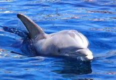 Dolfijn in het water Stock Fotografie