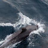 Dolfijn in overzees Stock Afbeeldingen