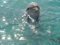 Dolfijn in rode overzees Royalty-vrije Stock Foto
