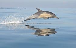 Dolfijn Zuid-Afrika Royalty-vrije Stock Afbeeldingen