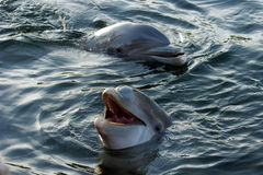 Dolfijnen 002 Stock Foto's