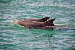 Dolfijnen 1 van Sado Stock Afbeelding