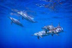 5 dolfijnen Stock Foto