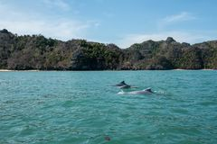 Dolfijnen bij Mangrovenreis in Kilim-Karst Geoforest, Langkawi stock afbeeldingen