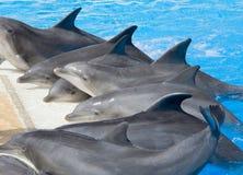 Dolfijnen bij rand van pool Stock Foto's