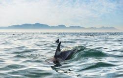 Dolfijnen in de Oceaan Royalty-vrije Stock Foto