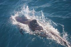 Dolfijnen in de wildernis Stock Afbeeldingen