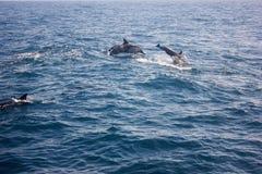 Dolfijnen in de wildernis Stock Foto's