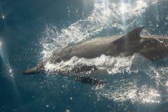 Dolfijnen in de wildernis Royalty-vrije Stock Afbeeldingen