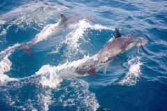 Dolfijnen in de wildernis Royalty-vrije Stock Foto