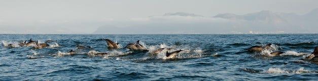 Dolfijnen, die in de oceaan zwemmen Royalty-vrije Stock Fotografie
