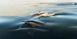 Dolfijnen, die in de oceaan zwemmen Stock Foto