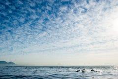 Dolfijnen, die in de oceaan zwemmen Stock Afbeeldingen