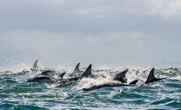 Dolfijnen, die in de oceaan zwemmen Stock Afbeelding