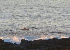Dolfijnen die dichtbij kust bij avond overgaan royalty-vrije stock afbeelding