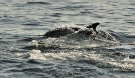 Dolfijnen die, die in de oceaan zwemmen en voor vissen jagen Stock Afbeeldingen