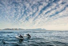 Dolfijnen die, die in de oceaan zwemmen en voor vissen jagen Stock Foto's