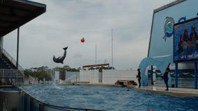 Dolfijnen die en in een groot pool zwemmen springen Het stijgen in de lucht en het doen van tikken onder een boei royalty-vrije stock afbeelding