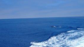 Dolfijnen die in het bootkielzog spelen in de oceaan Stock Afbeelding
