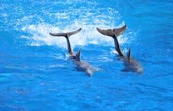 Dolfijnen die in het waterpark zwemmen royalty-vrije stock fotografie