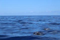 Dolfijnen die op de achtergrond van de bergen zwemmen royalty-vrije stock fotografie