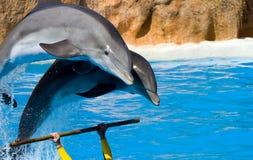 Dolfijnen die uit van water springen Stock Afbeeldingen