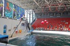 Dolfijnen in dolphinarium Stock Afbeeldingen