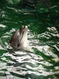 Dolfijnen in Dolphinarium Stock Foto