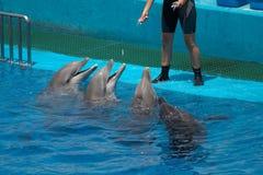 Dolfijnen en trainer Royalty-vrije Stock Foto