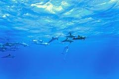 Dolfijnen in het overzees Royalty-vrije Stock Fotografie