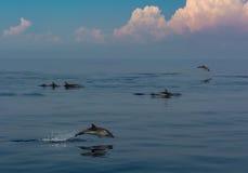 Dolfijnen het spelen Royalty-vrije Stock Foto