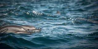 Dolfijnen langs de kust Royalty-vrije Stock Afbeelding