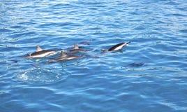 Dolfijnen, Maui, Hawaï Stock Foto's