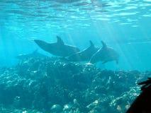 Dolfijnen op een koraalrif stock afbeelding