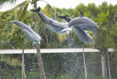 Dolfijnen - Seaworld Australië Stock Fotografie