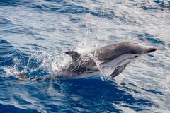 Dolfijnen terwijl het springen in het diepe blauwe overzees Stock Foto