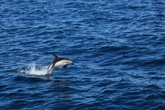 Dolfijnen van Puerto Madryn in Argentinië stock fotografie