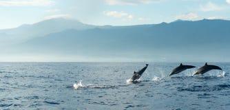 Dolfijnen in Vreedzame Oceaan stock foto's