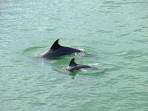 Dolfijnenmoeder en Baby Florida Stock Fotografie