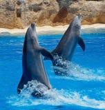Dolfijnfamilie die uit het duidelijke blauw springen Stock Foto's