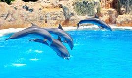 Dolfijnfamilie die uit het duidelijke blauw springen Stock Afbeelding