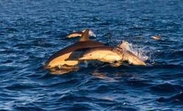 Dolfijnmoeder en kalf Stock Foto