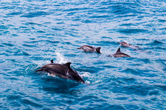Dolfijnpeul Stock Afbeeldingen