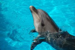 Dolfin Boris Royalty Free Stock Photography