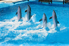 Dolfine show. Four dolfins performing in a pool in Palma Majorca Stock Photos