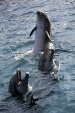 Dolfins, das im Ozean spielt Stockfotografie